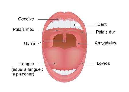 Schéma de l'anatomie de la bouche