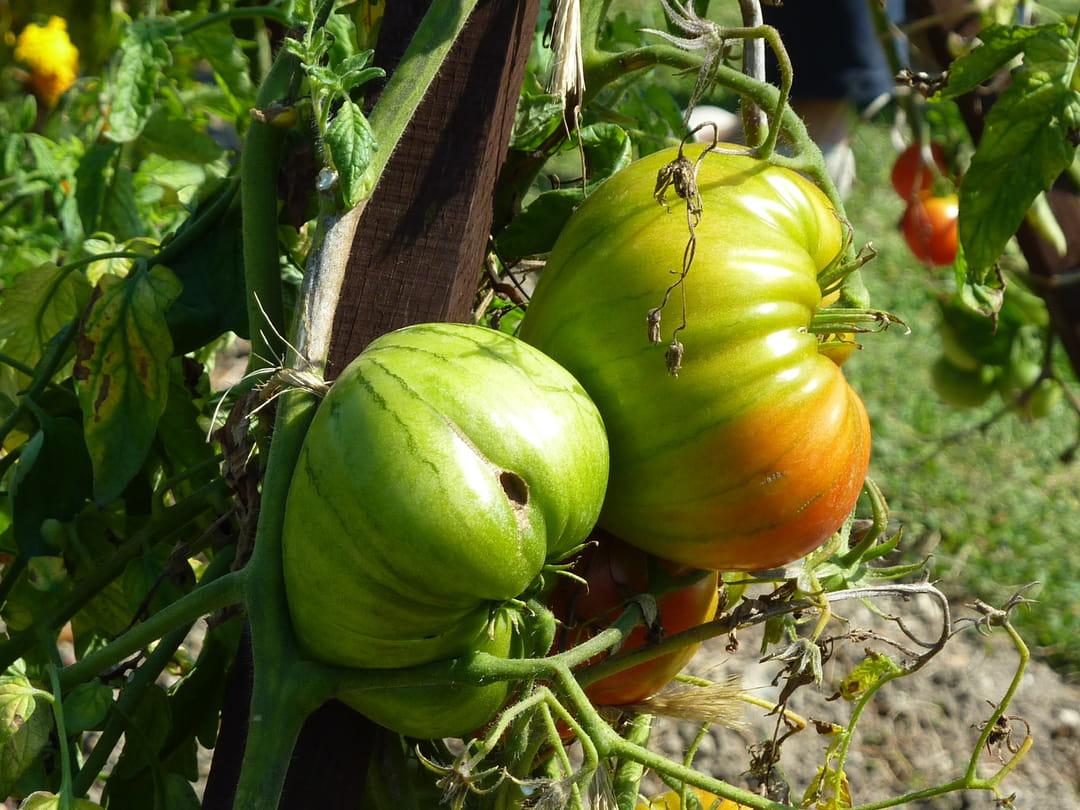 tomate-grandpas-cocks-plume