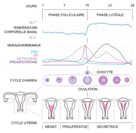 cycle menstruel ovulation