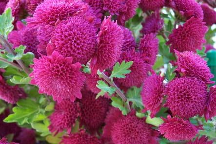 Chrysanthèmes flashy