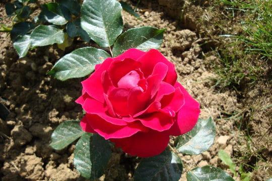 Le rosier de Mme Fernandel