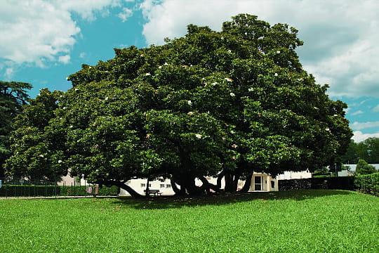 Magnolia Caradoc