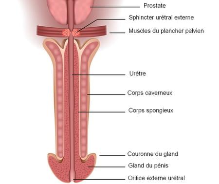 schéma corps caverneux et corps spongieux du pénis