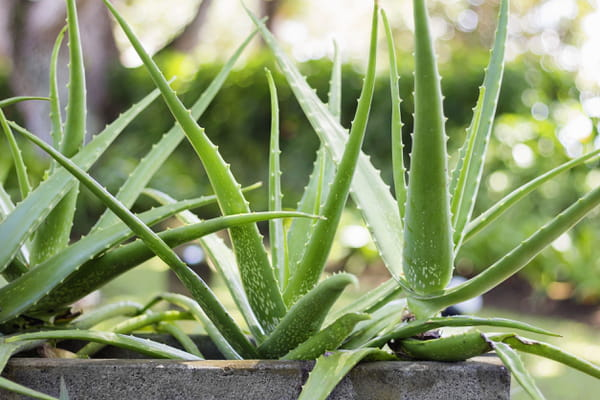 Plante Porte Bonheur 10 plantes au feuillage insolite