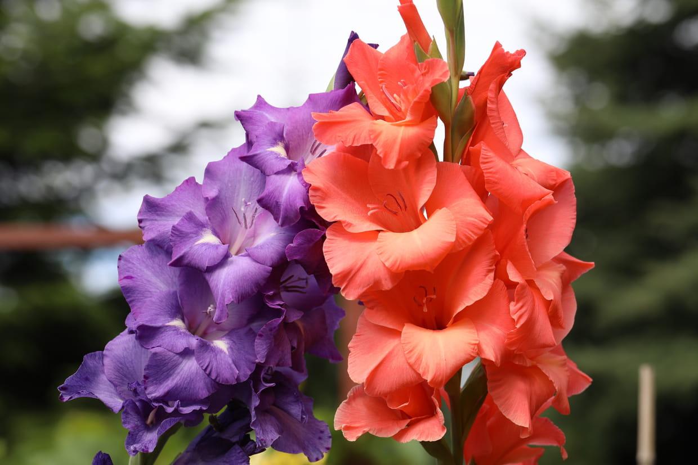 Faut Il Couper Les Lys Après Floraison glaïeul : planter, entretenir, cultiver et hiverner