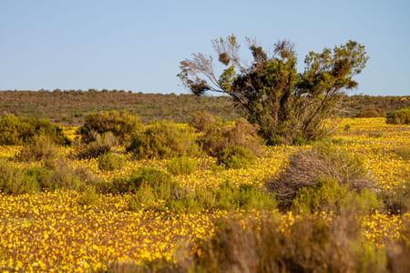 plante-rooibos-afrique-du-sud