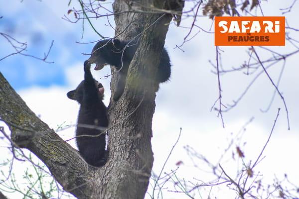 oursons-safari-de-peaugres
