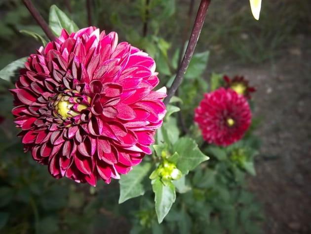 Le dahlia rose fuschia