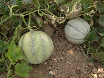 Entretien melon