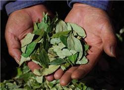 le thé à base de feuilles de coca, un classique andin pour lutter contre le mal