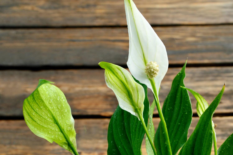 Spathiphyllum (Fleur de lune)