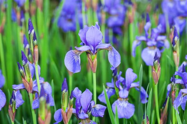 iris-bleus