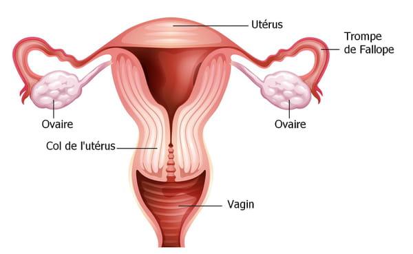 schéma utérus trompes de fallope