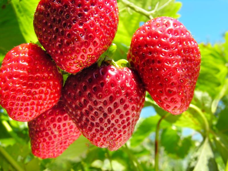 fraise bienfaits pour la sant des fraises sant m decine. Black Bedroom Furniture Sets. Home Design Ideas