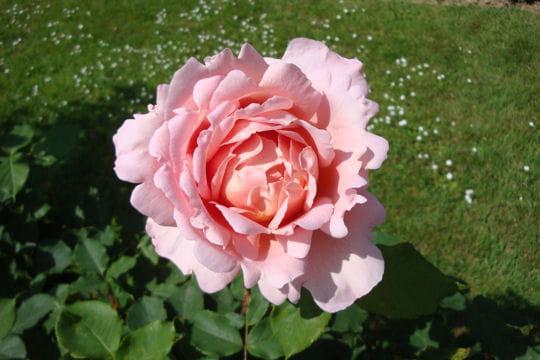 sublime rose parfum e. Black Bedroom Furniture Sets. Home Design Ideas