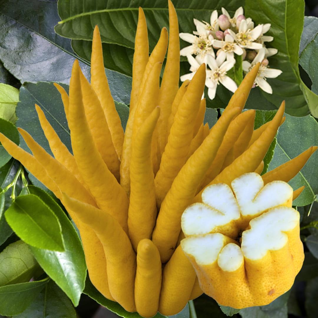 cedrat-main-de-bouddha-agrume