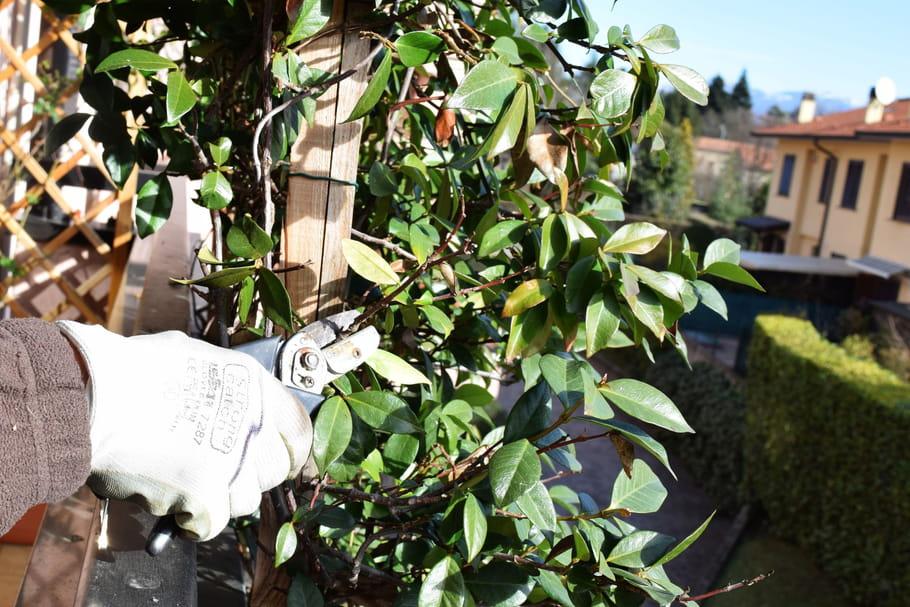 Tailler des plantes vertes for Des plantes vertes