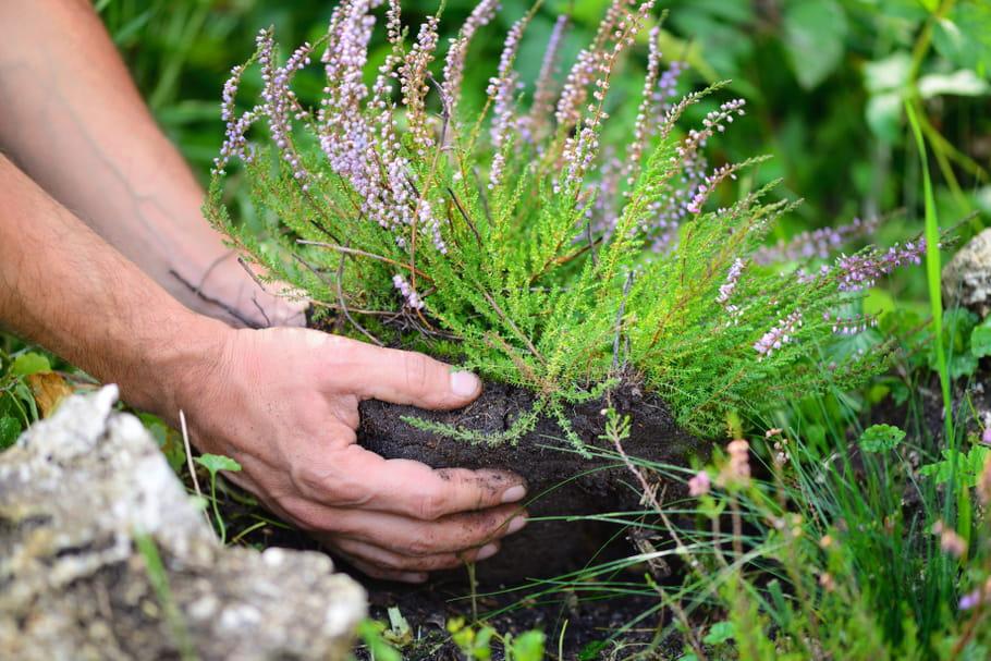 Terre de bruyère: définition et utilisation au jardin