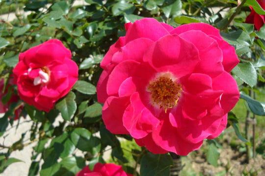 Le spectre de la rose plane