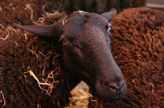 Voici un mouton noir
