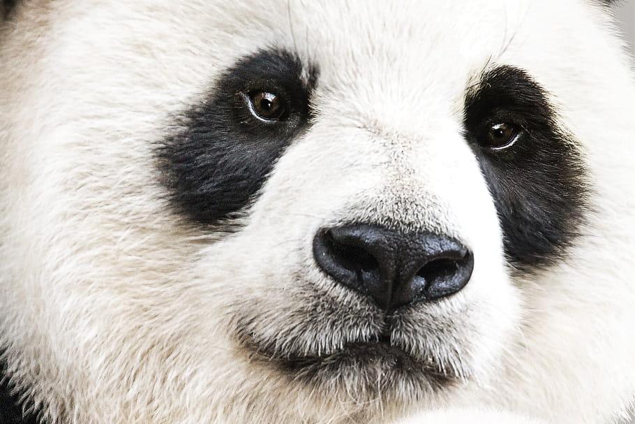 """""""Nés en Chine"""": à vous les pandas du nouveau Disneynature [VIDEO]"""