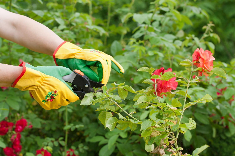 Bouturer un rosier: les étapes pour ne pas se tromper