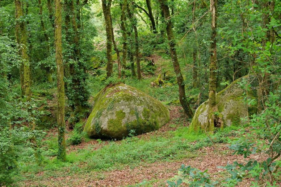 Phytophthora ramorum, ce champignon qui menace les forêts françaises