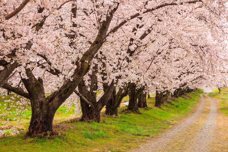 Prunus serrulata (Cerisier du Japon)