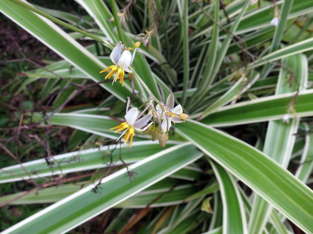fleurs-de-chlorophytum