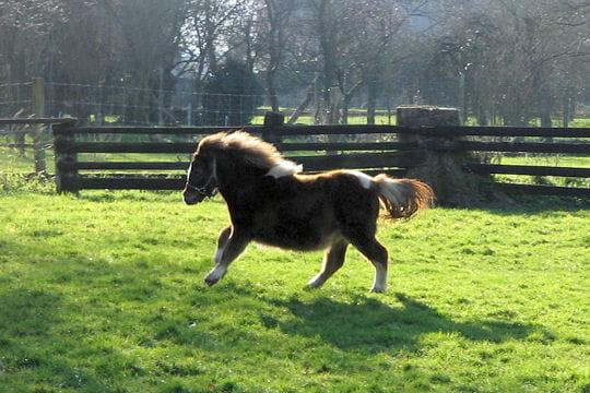 La taille du poney Shetland