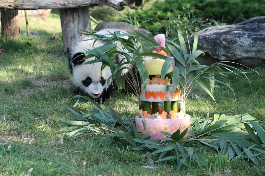 Zooparc de Beauval: le bébé panda a fêté son premier anniversaire