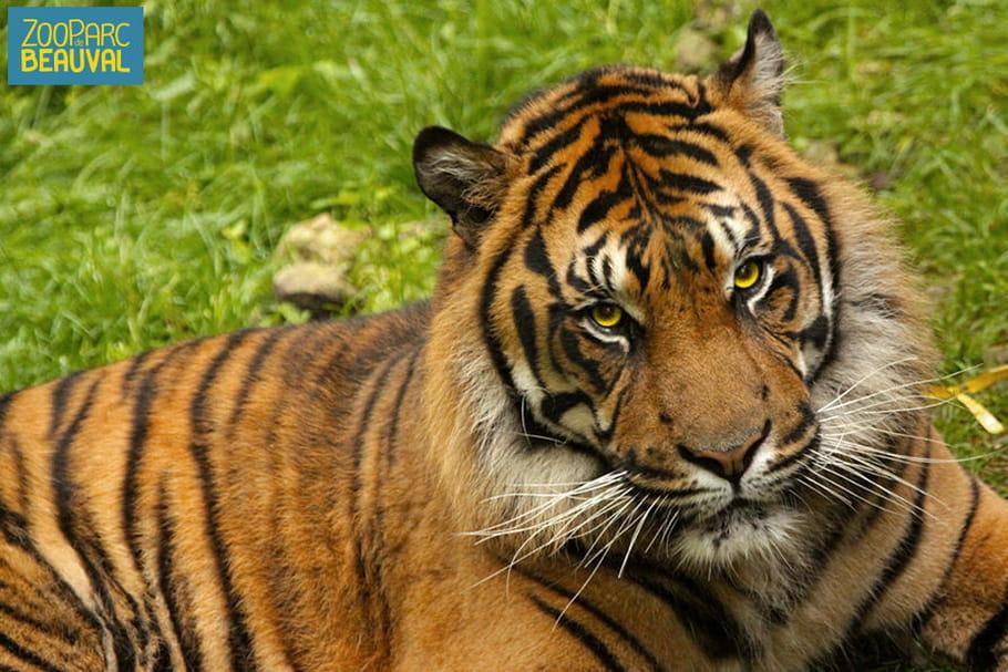 Les lions sont rois au Zooparc de Beauval!