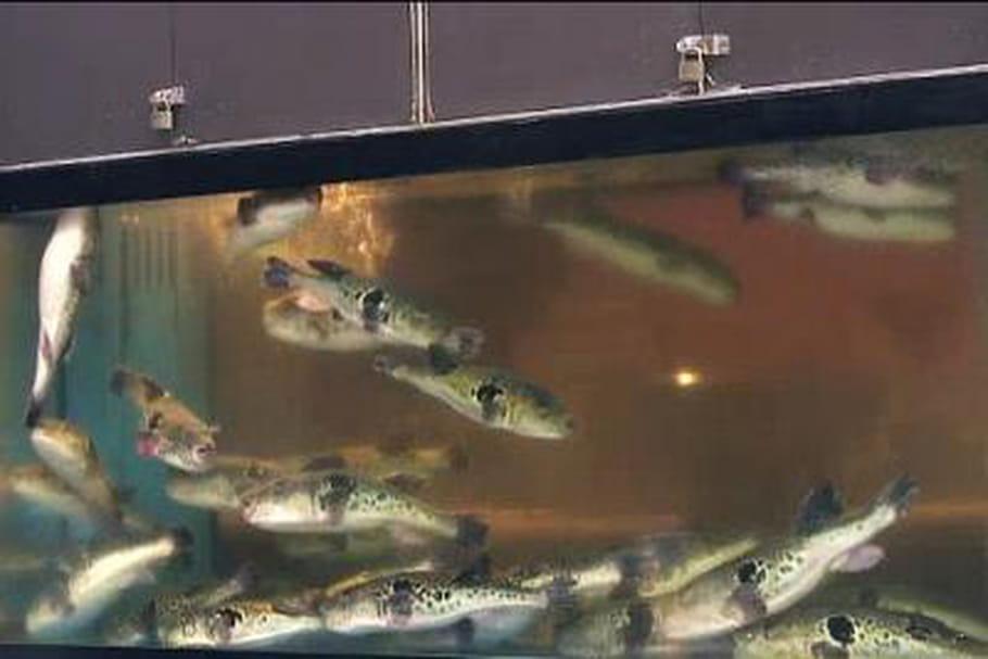 Le fugu, un poisson mortellement bon