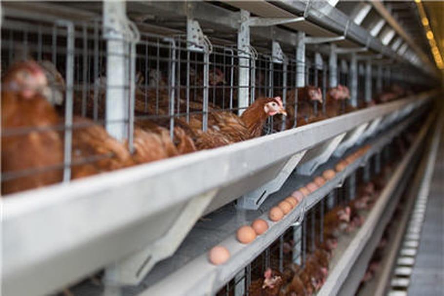 Grippe aviaire: surveillance renforcée en France