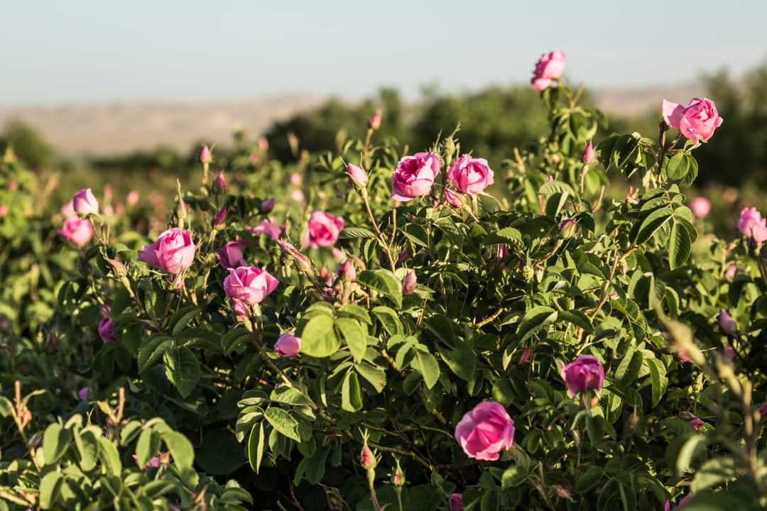 rose-melvita