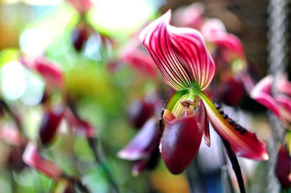orchidee-sabot-de-venus