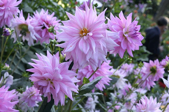 Dahlias 'Pearl of Heemstede'