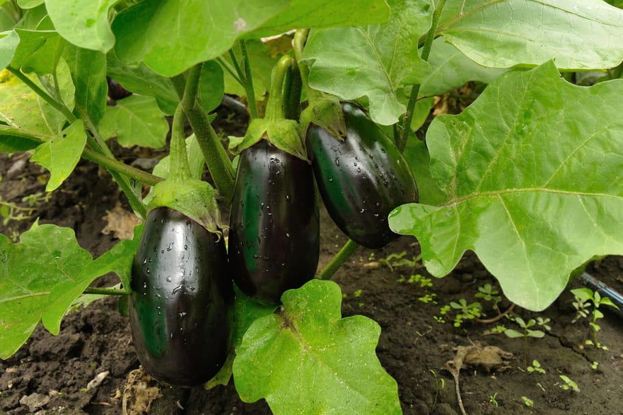 l'aubergine : semis, plantation, entretien et récolte
