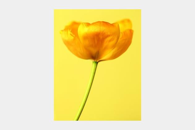 Tulipe Golden Parade