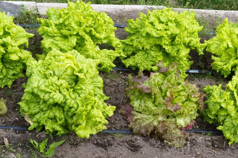 Cultiver des salades: périodes de plantation, semis, repiquage et culture en pot