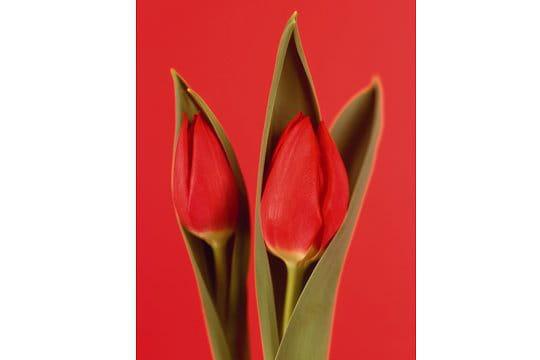 Tulipe Rogue