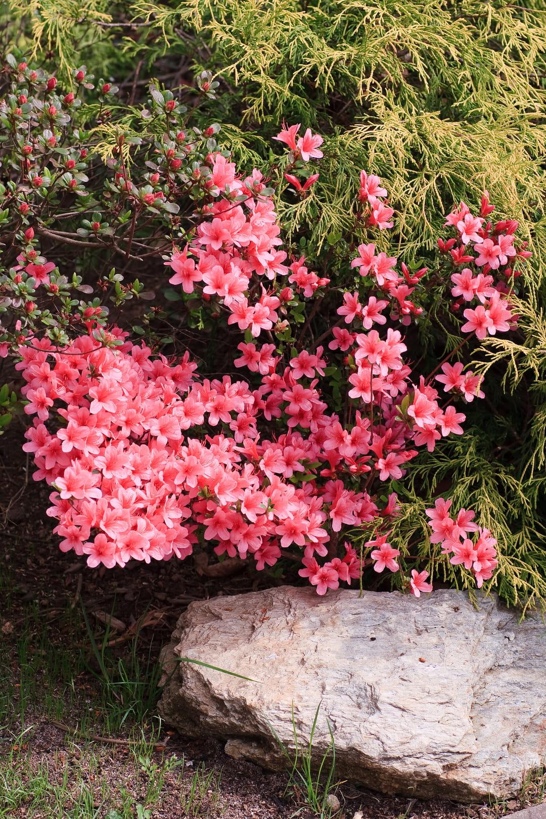 plante-d-ombre-azalee-du-japon