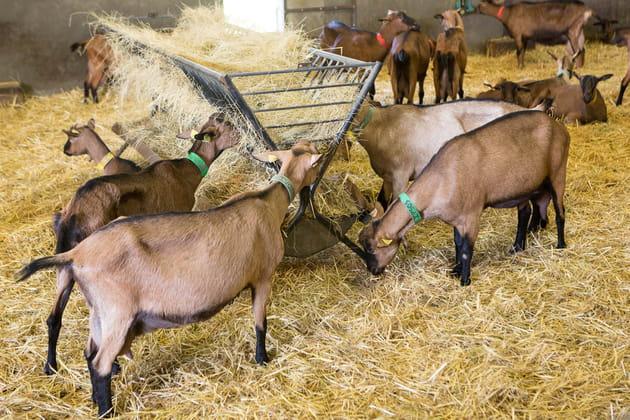 Un troupeau divisé en 2 groupes pour lisser la production