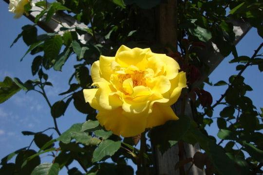 Une rose à l'odeur citronnée