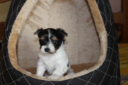 Yorkshire terrier tricolore