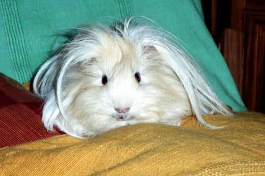 Un cochon d'Inde Péruvien