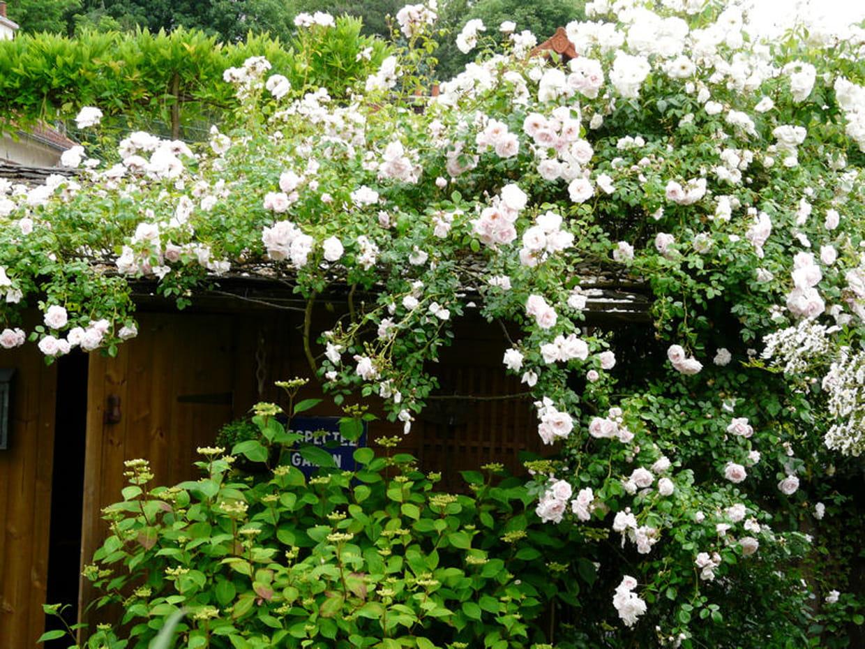 Un rosier embellit la cabane for Decoration jardin rosier