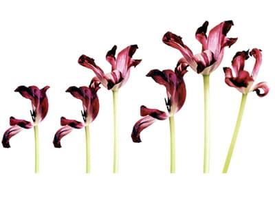 toile murale 'tulipe crescendo' d'acte-deco