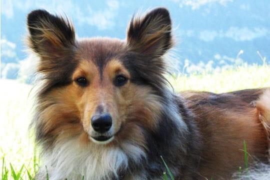 Le chien de berger
