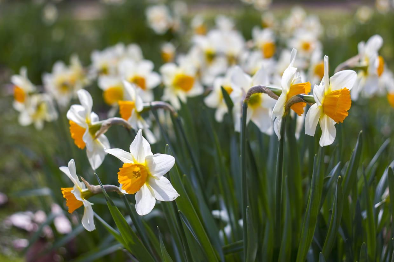 Quelles Fleurs Planter En Septembre narcisse, jonquille : planter, entretenir, repiquer et